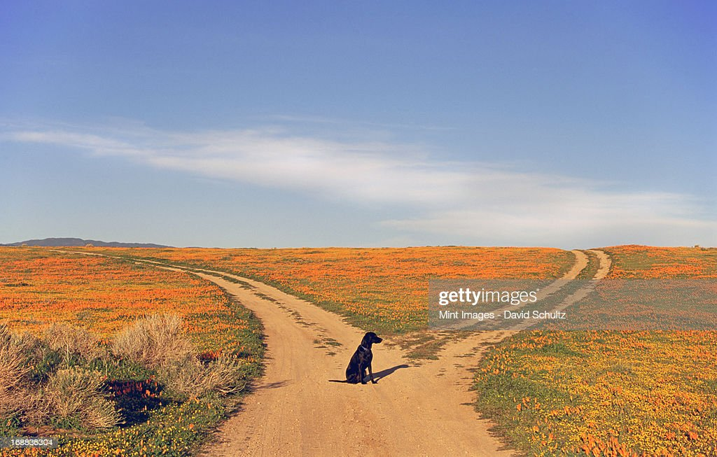 A black Labrador retriever dog sitting at a fork in the road, where the path divides.  : Stock Photo