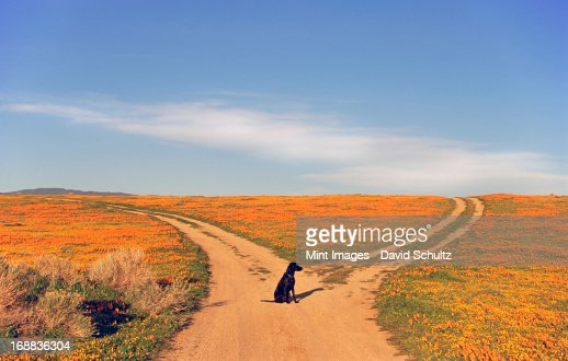 A black Labrador retriever dog sitting at a fork in the road, where the path divides.  : Foto de stock
