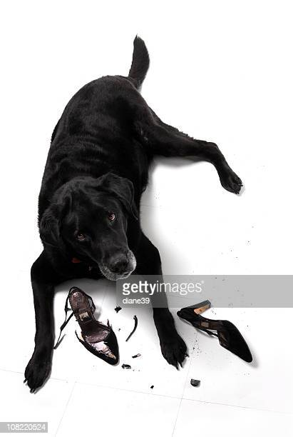 Black Labrador Retriever Dog with Demolished High Heel Shoes