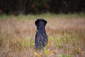 Black labrador retriever sitting backwards on the meadow