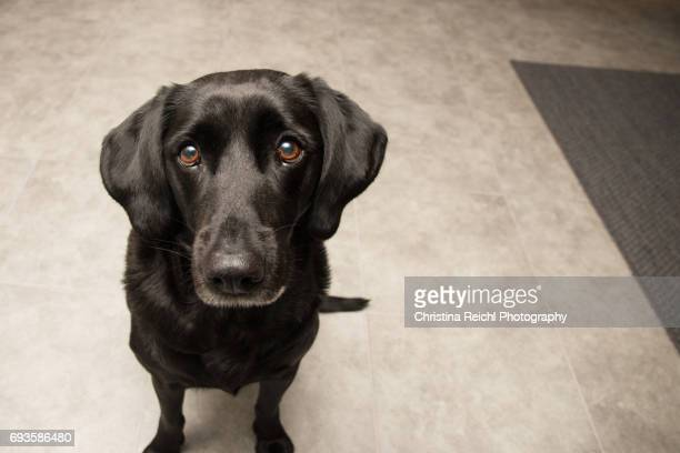 Black Labrador Retriever sitting on kitchen floor looking directly into camera