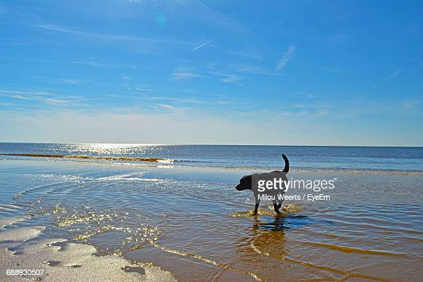 Black Labrador Retriever Strolling On Shore At Beach Against Blue Sky