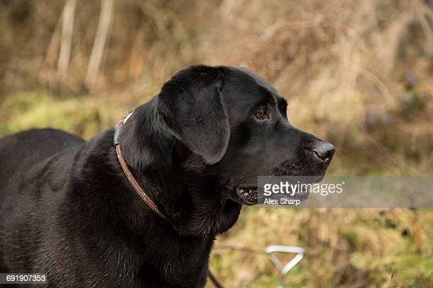 Black Labrador waiting to work