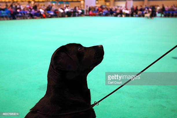 Black Labrador waits for a command as it competes on the first day of Crufts dog show at the National Exhibition Centre on March 5 2015 in Birmingham...