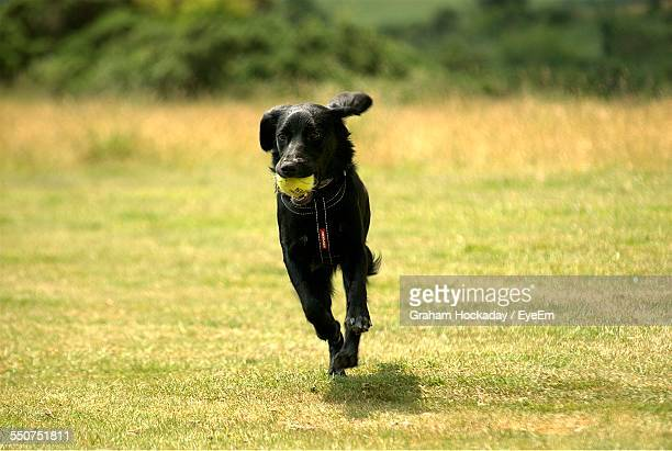 Black Labrador With Ball In Mouth Running At Park