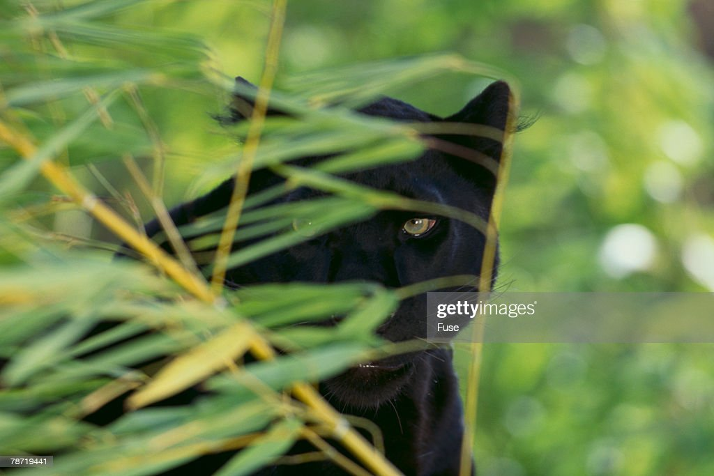 Black Leopard Behind Leaves : Stock Photo