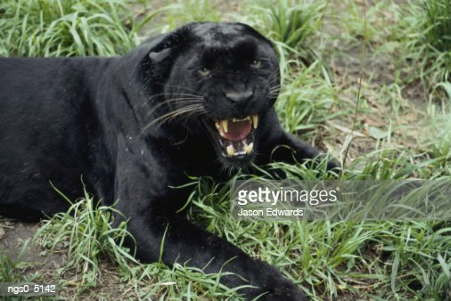 A black leopard growls at the camera. : Foto de stock