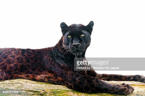 Black leopard on the log