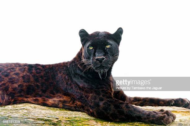 Black leopard on the log