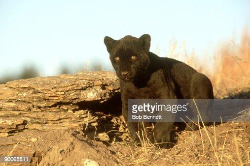 black leopard, panthera pardus, asia : Stock Photo