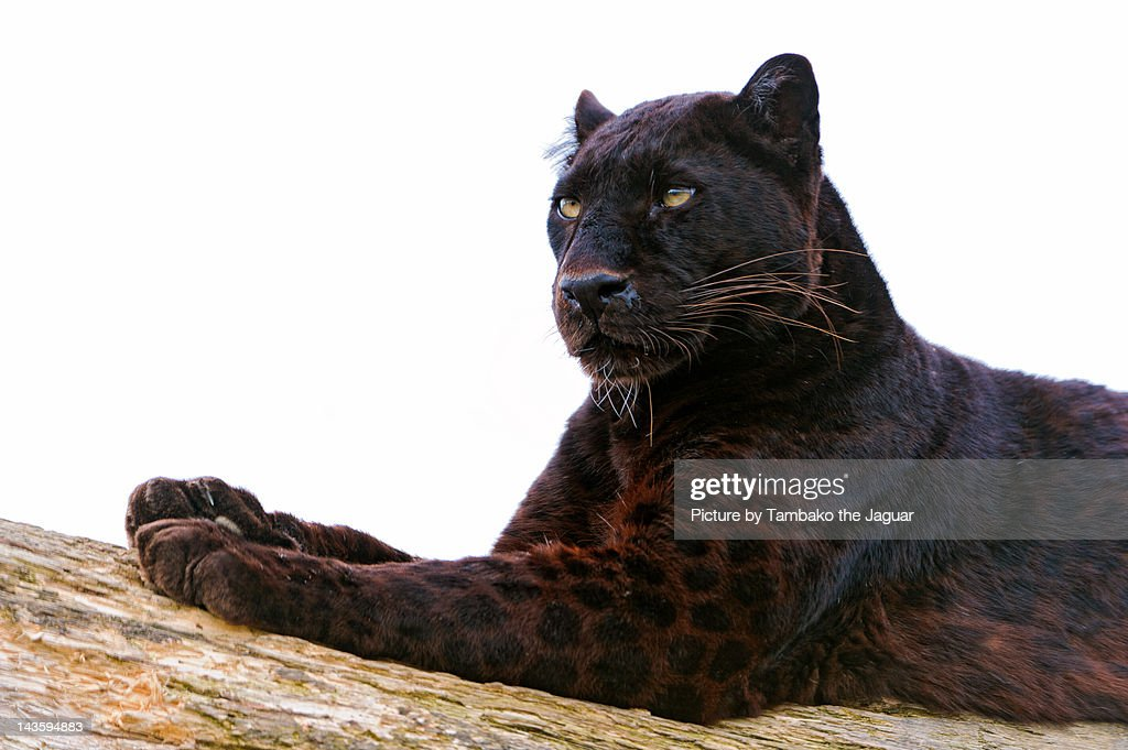 Black leopard : Stock Photo