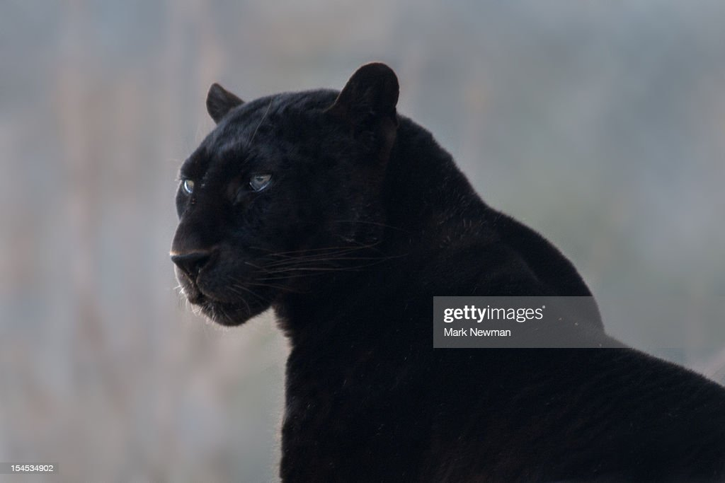 Black leopard (Panthera pardus) : Stock Photo