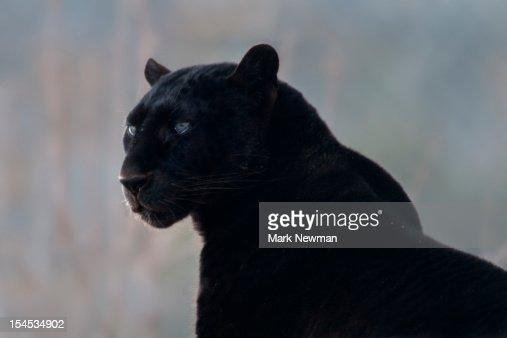 Black leopard (Panthera pardus) : Stock-Foto