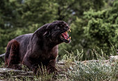 Beautiful Black Leopard warning snarl