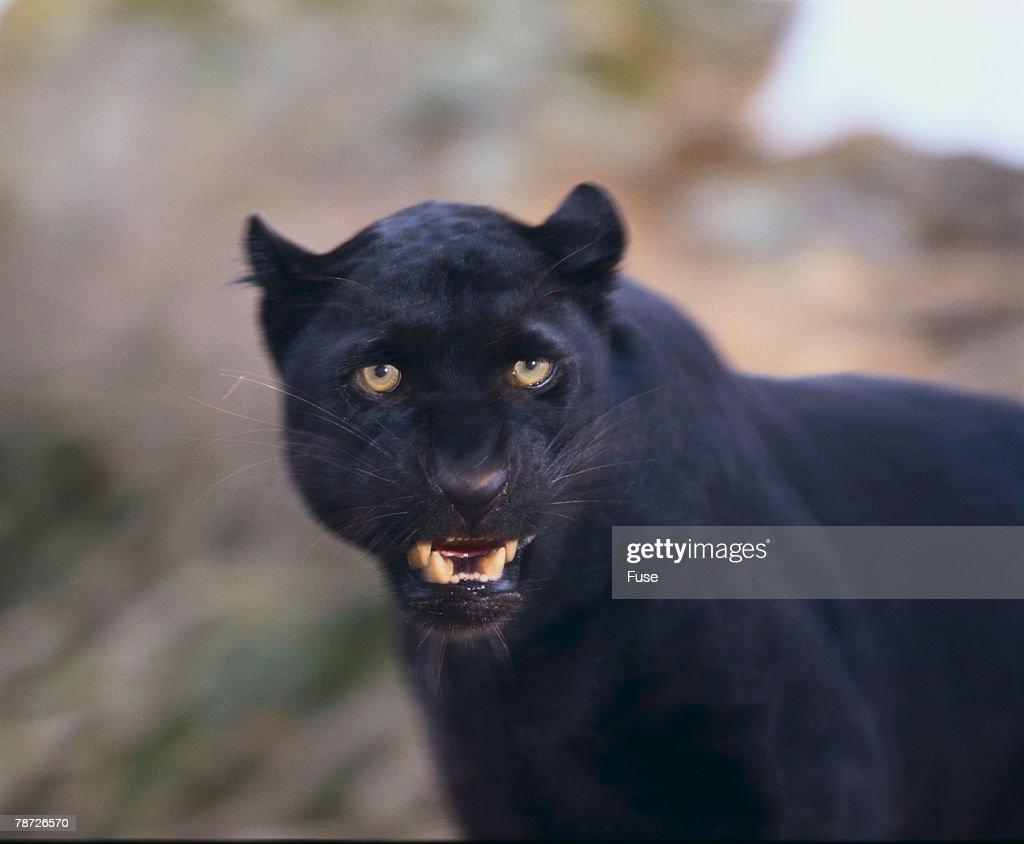 Black Leopard Snarling : Stock Photo