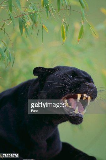 Black Leopard Snarling