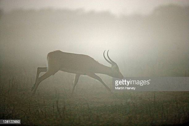 Black letchwe. (Kobus leche smithemani) Vulnerable species. In early morning mist. Lake Bangweulu Game Management Area. Zambia