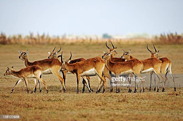 Black letchwe. (Kobus leche smithemani) Vulnerable species. Lake Bangweulu Game Management Area. Zambia