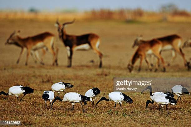 Black letchwe. (Kobus leche smithemani) Vulnerable species. With sacred ibis. Lake Bangweulu Game Management Area. Zambia