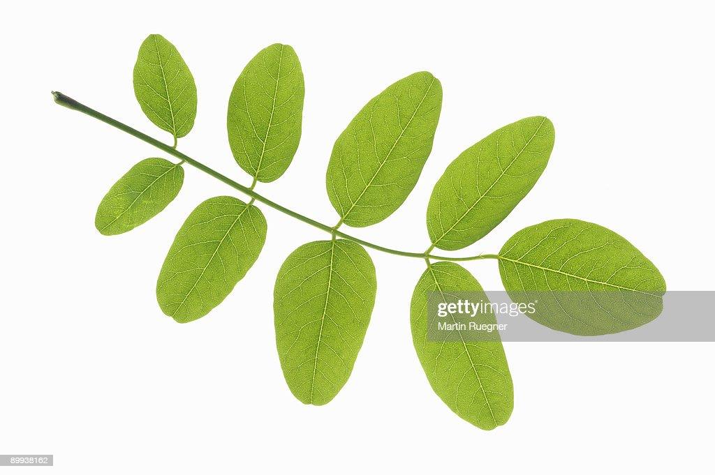 NameThatPlant.net: pinnately compound leaves of trees