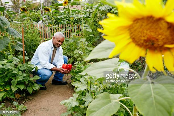 Black man holding bell peppers in community garden