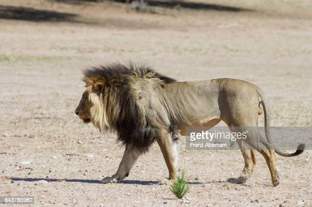 Black mane lion walking along Auob wadi, Kalahari, Kgalagadi Transfrontier Park, South Africa