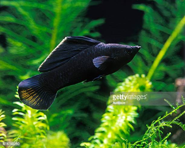 Black molly Poecilia sphenops freshwater fish popular aquarium species that grows to 6 cm Originates in Central and South America Mexico to Colombia...
