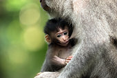 Black monkey kid feeds on the mother's breast in Ubud forest.