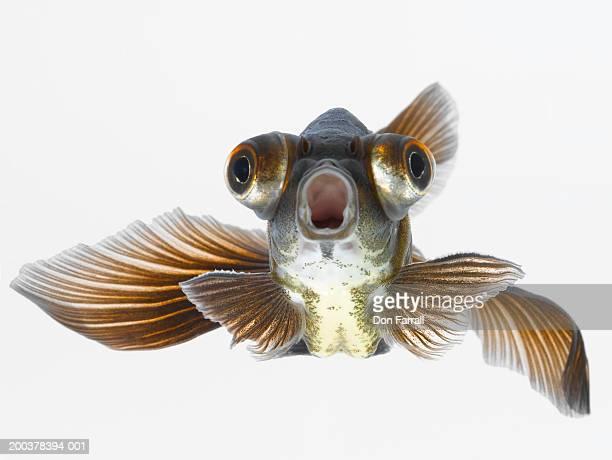 Black moor goldfish (Carassius auratus)