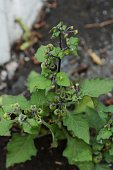 'Black nightshade' isseen in the streets