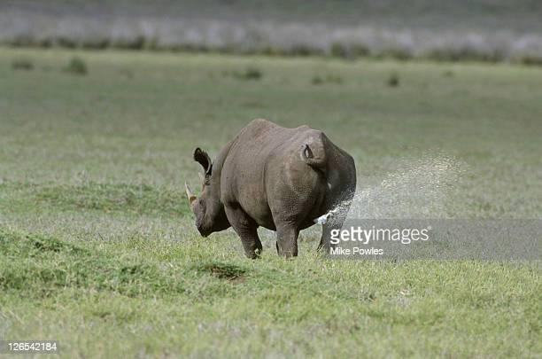Black or hook-lipped rhinoceros, Diceros bicornis, scent marking territory by spraying urine.  Ngorongoro Crater, Tanzania