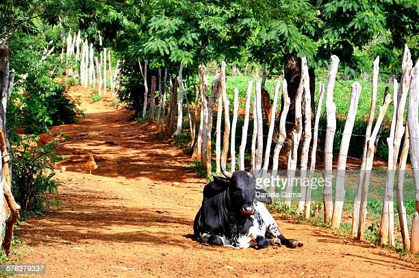 Black ox lying on the road in rural