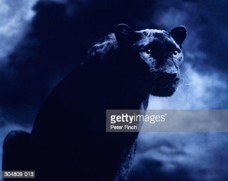 Black panther against dark background, studio shot