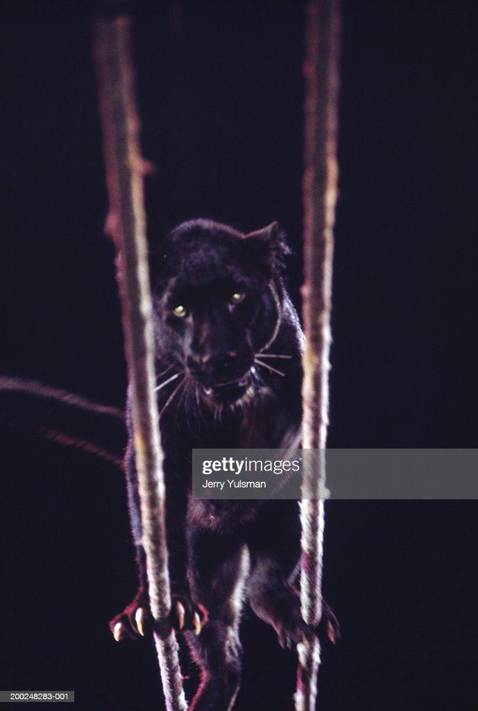 Black panther balancing on ropes at circus : Stock Photo