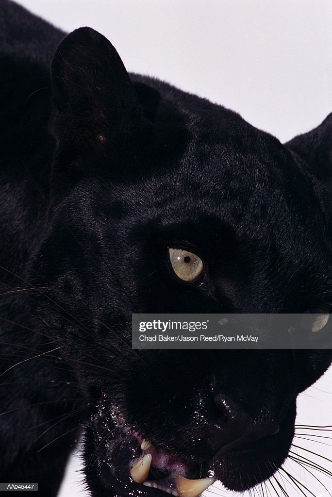 Black panther (Panthera pardus), close-up