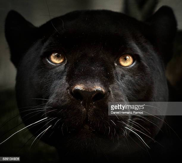 Black panther face detail. Black Jaguar Panthera onca