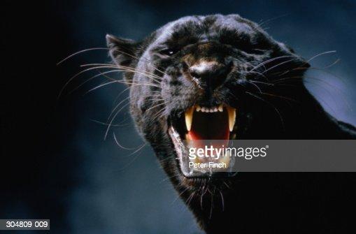 Black panther (Panthera pardus) growling, head-shot