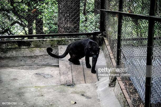 Black Panther In Cage At Zoo