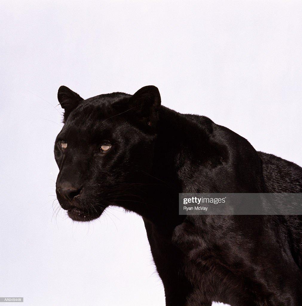 Black panther (Panthera pardus) : Stock Photo