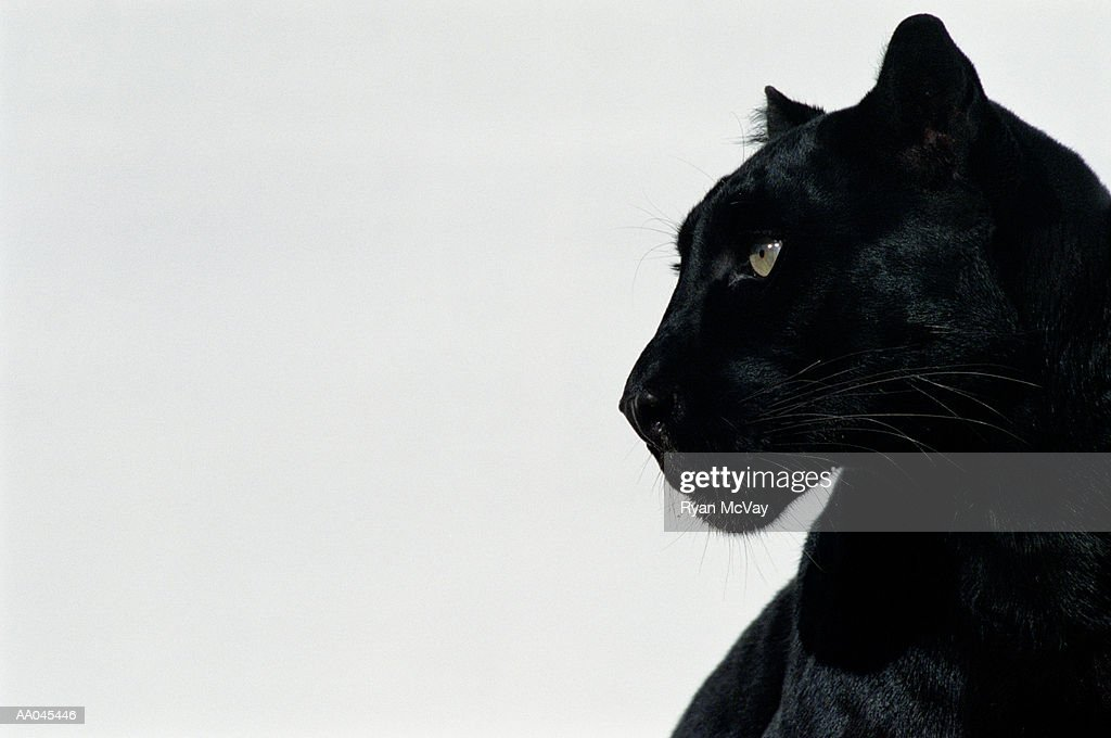 Black panther (Panthera pardus), profile : Stock Photo