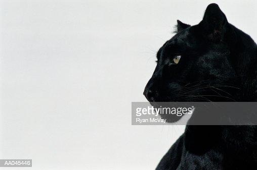 Black panther (Panthera pardus), profile