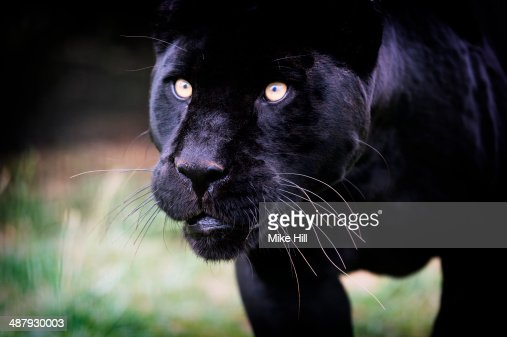 Black Panther prowling