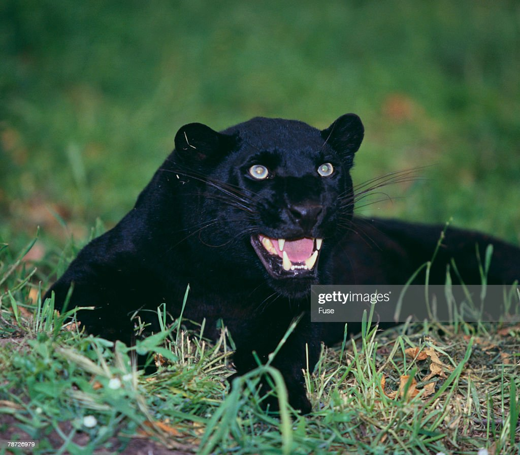 Black Panther Sitting in Grass : Stock Photo