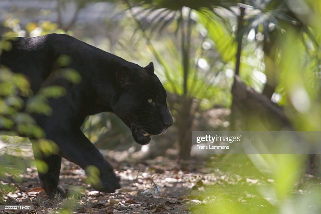 Black panther (Puma concolor) walking side view : Stock Photo