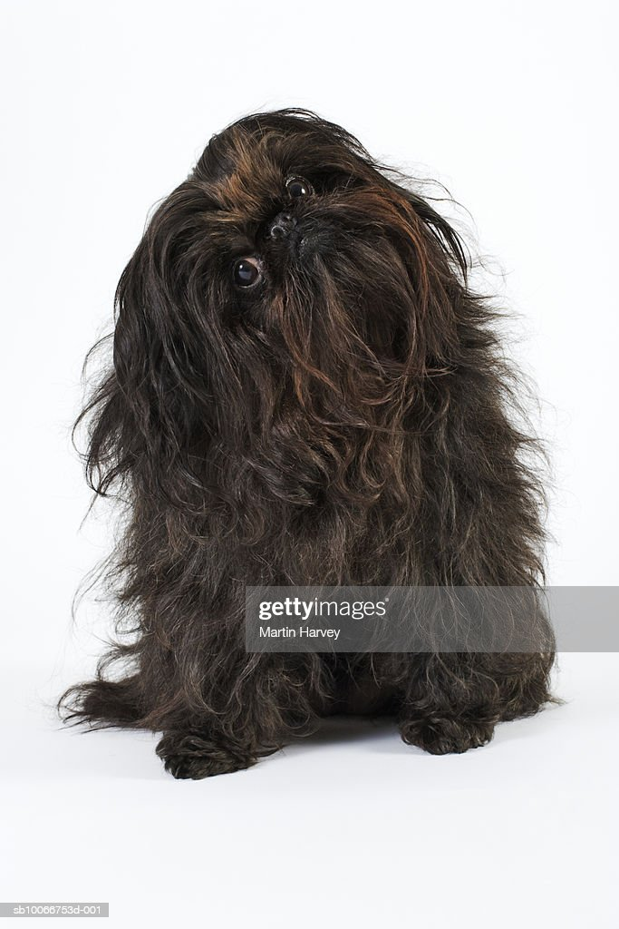 Black Pekingese dog tilting head