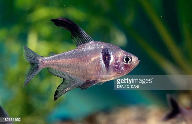 Black phantom Tetra Characidae in aquarium