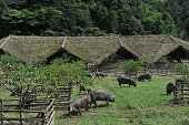 LIN'AN CHINA JULY 12 Black pigs are seen at an ecological farm on July 12 2016 in Lin'an Zhejiang Province of China The pigsty designed by the...