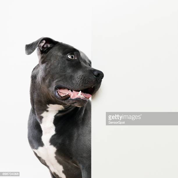 Black pit bull dog and white wall