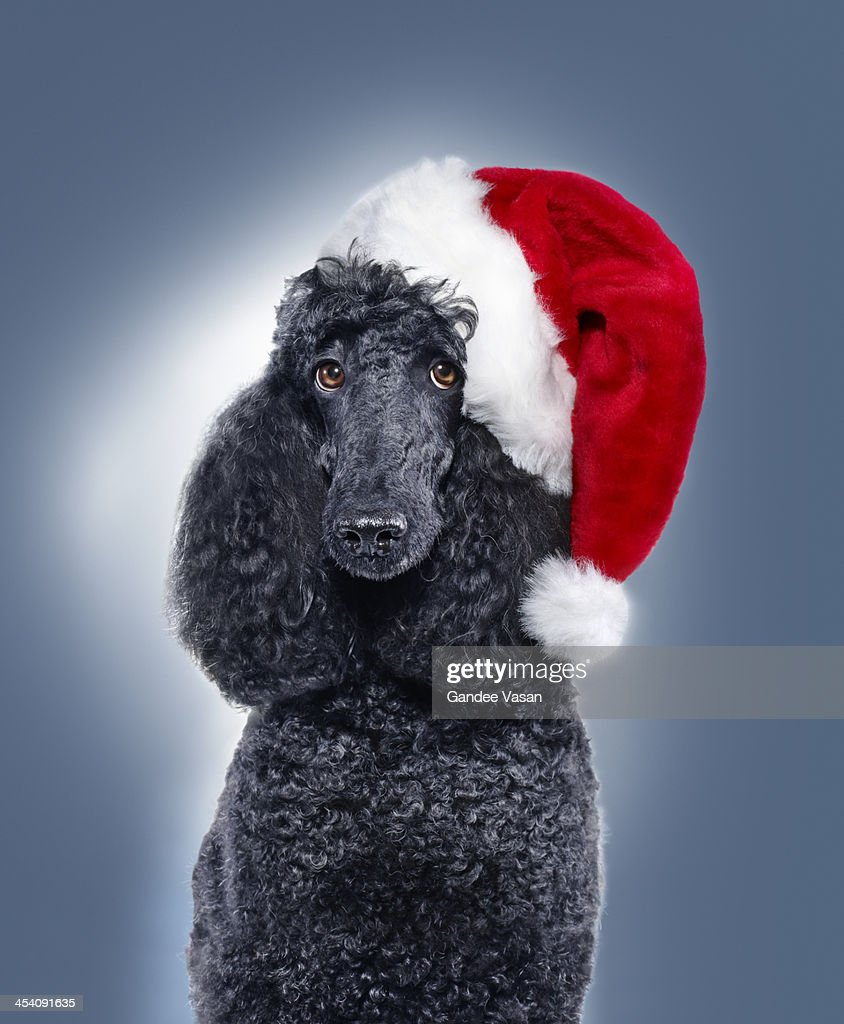 Black Poodle wearing Santa Hat : Stock Photo