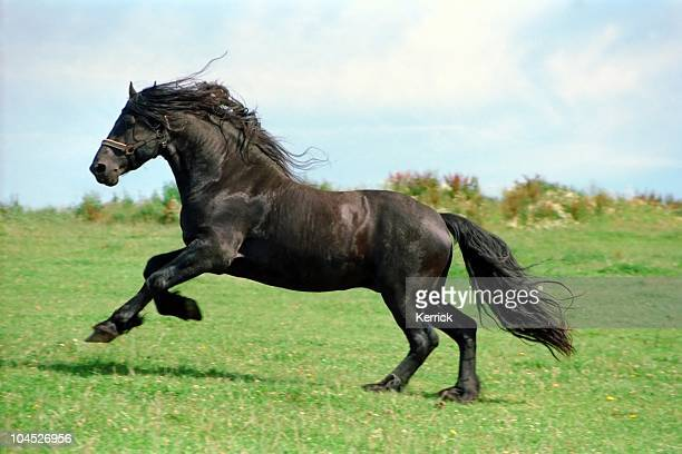 black power-friesian horse Hengst